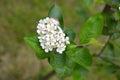 Inflorescence of an aroniya (mountain ash) black-fruited (Aronia melanocarpa (Michx.) Elliott) Royalty Free Stock Photo