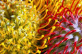 Inflorescence details of protea flowers evocative of coral spiderlegs and spermatozoa found in a tropical flower arrangement Stock Image