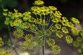 Inflorescence dill on green background Royalty Free Stock Photos