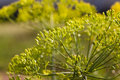 Inflorescence dill horticultural fennel seeds close up Royalty Free Stock Photography
