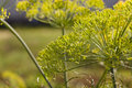 Inflorescence dill horticultural fennel seeds close up Royalty Free Stock Images