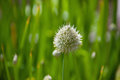 Inflorescence of onions at maturity. Royalty Free Stock Photo