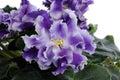 Inflorescence violets purple velvet close up Royalty Free Stock Image