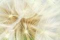 Inflorescence of white dandelion closeup Royalty Free Stock Photos