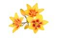 Inflorescence yellow lily (Latin name: Lilium). Royalty Free Stock Photo