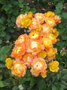 Inflorescences of orange small rose flowers between rich green leaves on the bush Royalty Free Stock Photo