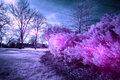 Infra red photo of a bush with bright pinks and purples some lens flare bringing out the colour the bushes taken in albert Royalty Free Stock Images