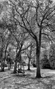 Infrared Image Of Bare  Trees In A Florida Park Royalty Free Stock Photo