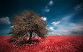 Infrared landscape summer meadows red with alone tree Stock Photos