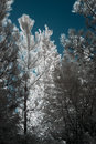 Infrared trees from an european forest Royalty Free Stock Photography