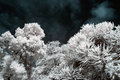 Infrared trees and leaves Royalty Free Stock Photo