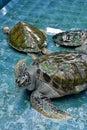 Injure turtles injured sea were treated at aquarium Royalty Free Stock Photo