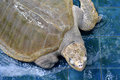 Injure turtles injured sea were treated at aquarium Royalty Free Stock Image