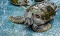 Injure turtles injured were treated at aquarium Stock Photo