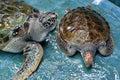Injure turtles injured were treated at aquarium Stock Photos