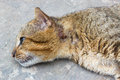 Injured cat had at neck laying down on floor and looking for some thing Royalty Free Stock Photos