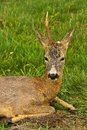 Injured deer Royalty Free Stock Photo