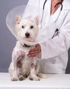 Injured Dog At the Vet Stock Photography