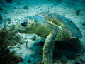 Injured loggerhead sea turtle swimming on reef Stock Photo