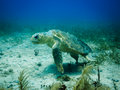 Injured loggerhead sea turtle swimming on reef Stock Photos