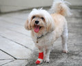 Injured shih tzu portrait of on front leg Royalty Free Stock Images