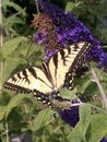 Injured tiger swallowtail damaged butterfly keeps on flying Stock Images