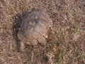 Injured tortoise male of greek testudo graeca Royalty Free Stock Image