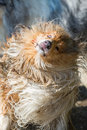 Injured wet and dirty dog shaking the head Royalty Free Stock Photo