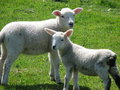 Innocent Easter Lambs Royalty Free Stock Photos