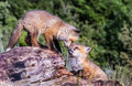 Innocent kiss red fox cubs rubbing noses Royalty Free Stock Photo