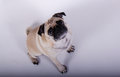 Innocent pug dog cute looking Royalty Free Stock Image