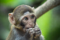 Innocent a rhesus macaque with face Stock Photos