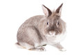 Inquisitive adorable little grey and white easter bunny rabbit sitting sideways staring straight at the camera isolated on white Stock Image