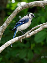 Inquisitive blue jay up on a tree branch with expression Stock Photos