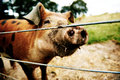 Inquisitive brown pig standing close up against wire cables with a dirty muddy snout Stock Photo
