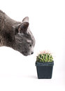 Inquisitive cat inspecting a spiny cactus Royalty Free Stock Images