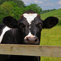 An inquisitive cow Stock Photos