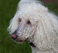 Inquisitive dog standard white poodle that has spotted something Stock Photography