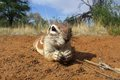 Inquisitive ground squirrel Royalty Free Stock Images