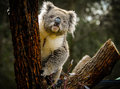 An inquisitive koala on a tree looks out off Stock Photography