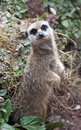 Inquisitive meercat Royalty Free Stock Photo