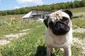 Inquisitive pug dog Royalty Free Stock Photo