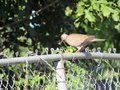 Inquisitive Tobacco Dove on a rickety metal fence