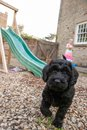 An inquisitive young labradoodle puppy Royalty Free Stock Photo