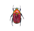 Insect Beetle, or bug on white Royalty Free Stock Photo