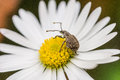 Insect on a daisy an resting flower Stock Photography