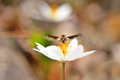 Insect drink flower macro of drinking nectar from white frontal view Stock Photo