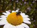 Insect green beetle on a daisy Stock Photography