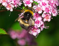 Insect macro bee sitting on a flower spiraea collecting pollen and spirea Stock Photography
