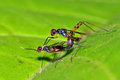 Insect mating on leaf Royalty Free Stock Photo